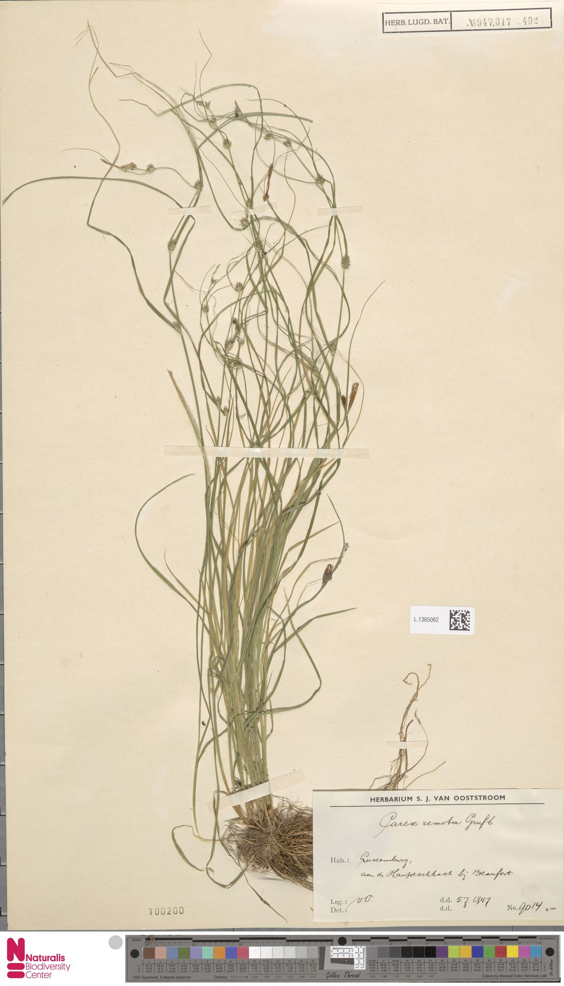 L.1365062 | Carex remota L.