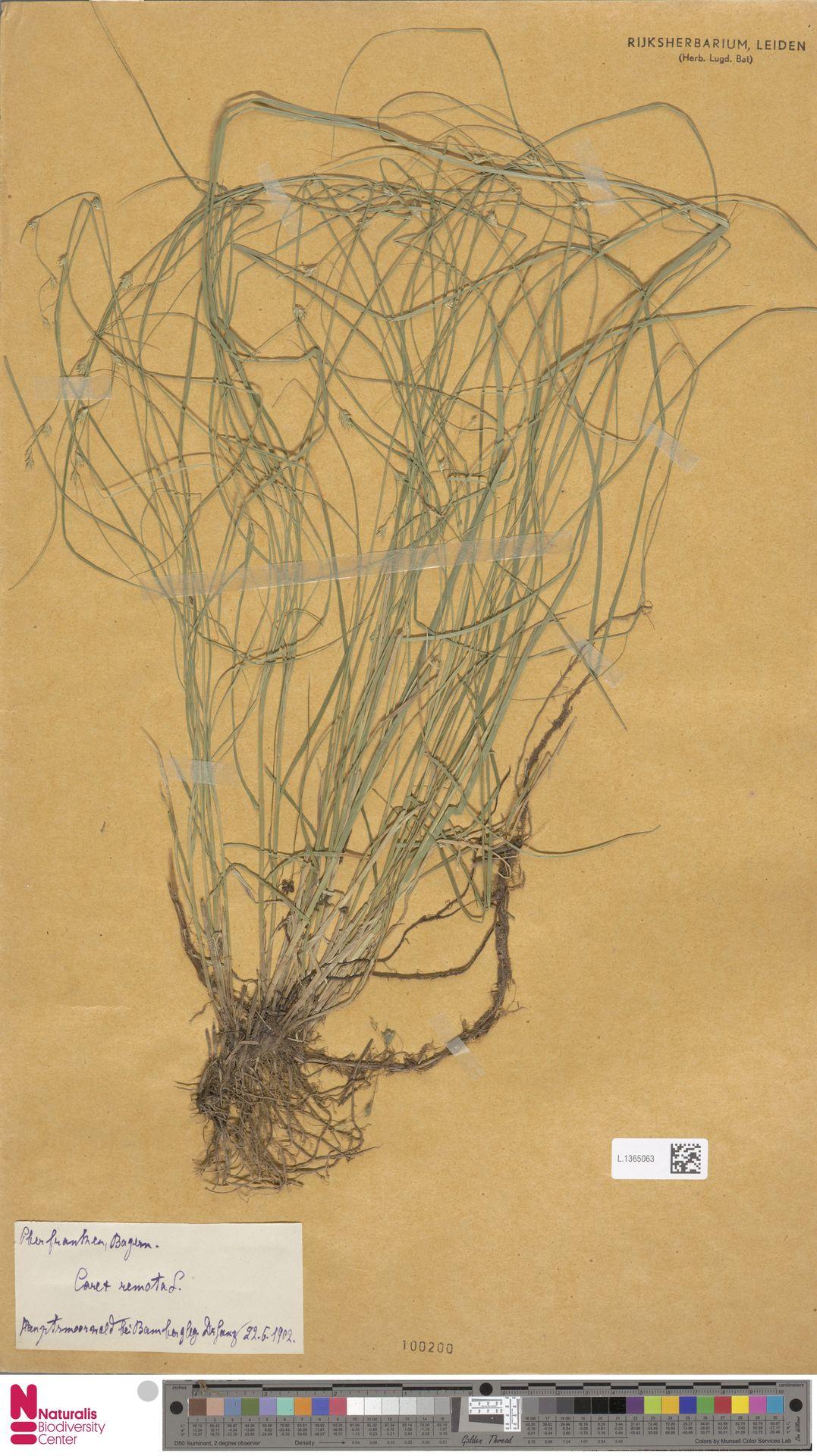 L.1365063 | Carex remota L.