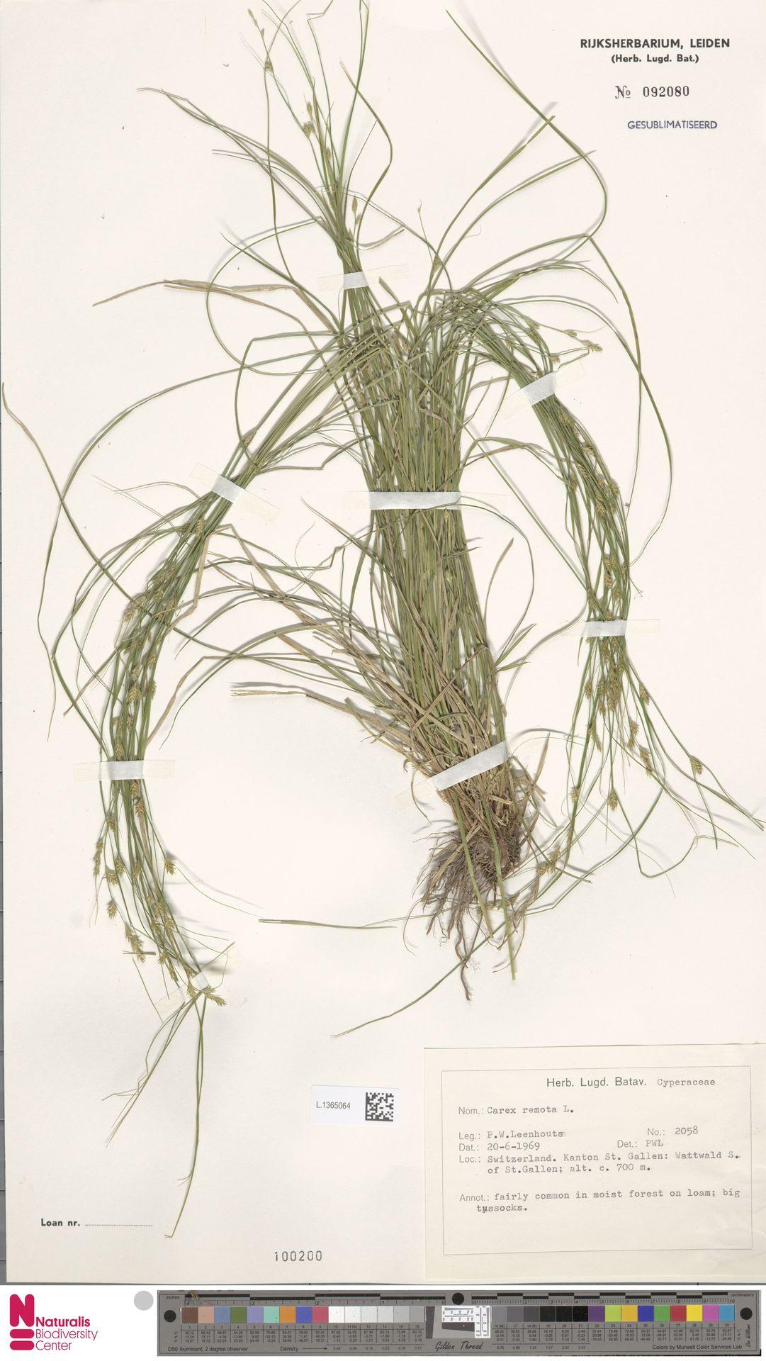 L.1365064 | Carex remota L.