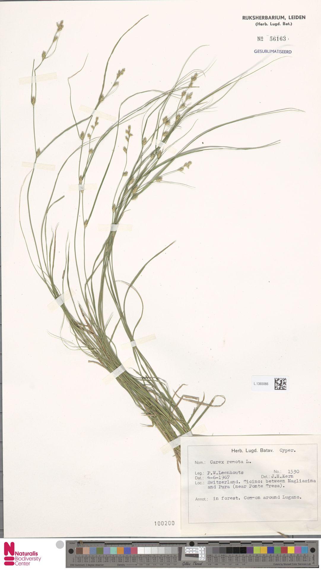 L.1365066 | Carex remota L.