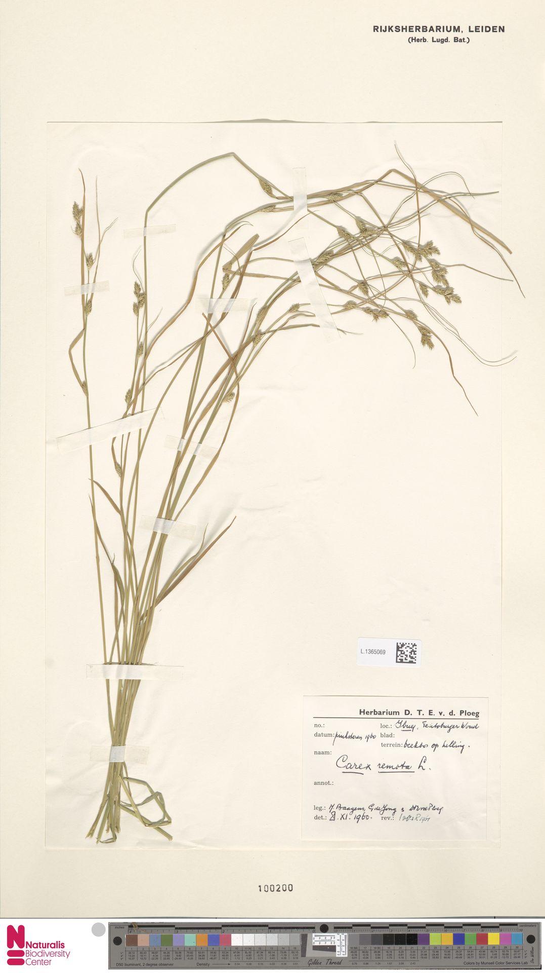 L.1365069 | Carex remota L.