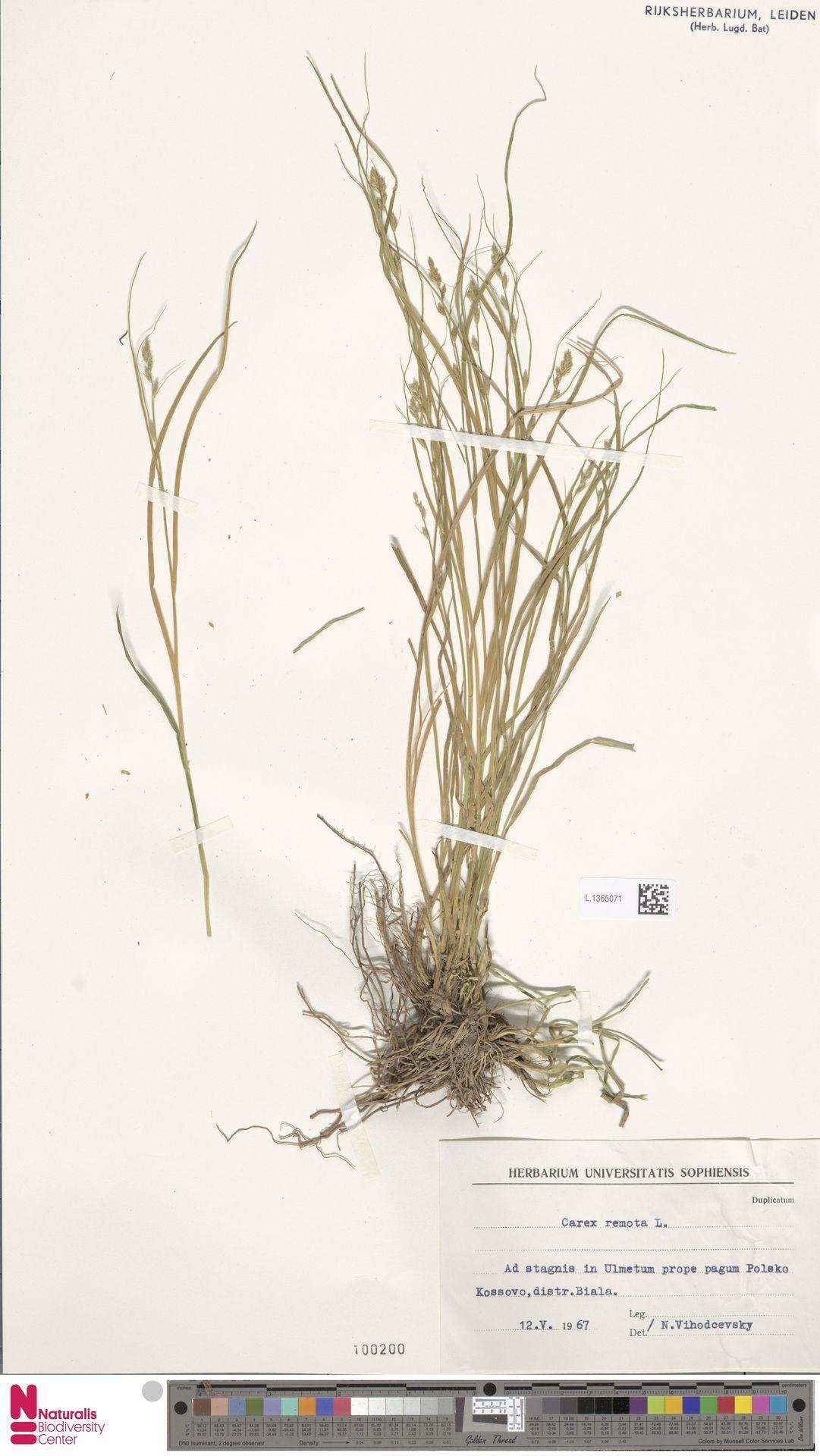 L.1365071 | Carex remota L.