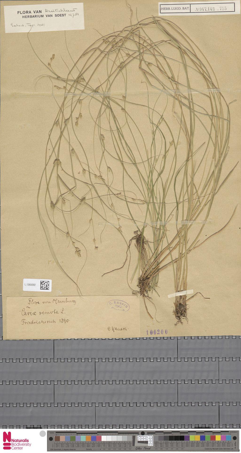 L.1365092 | Carex remota L.