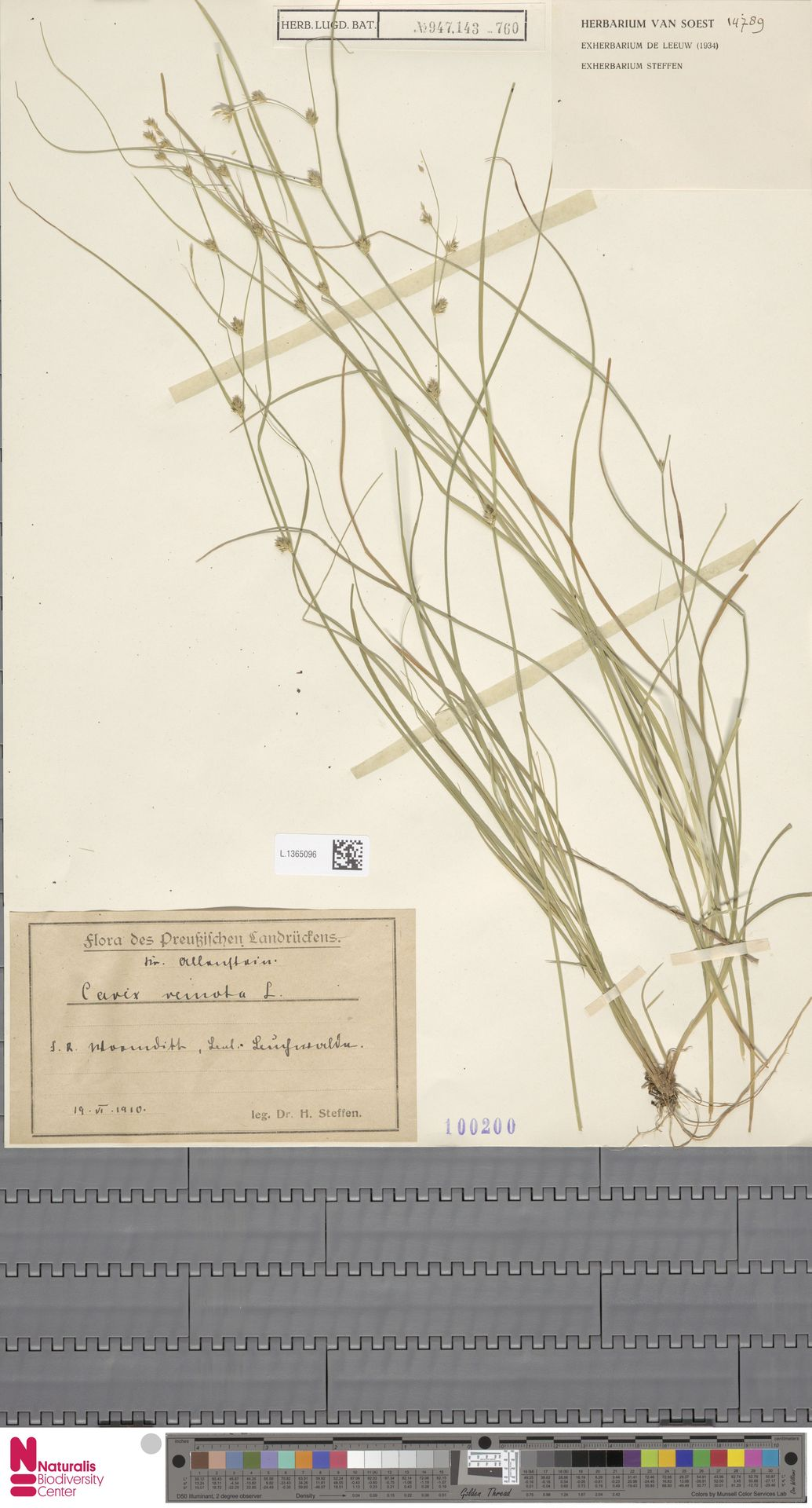 L.1365096 | Carex remota L.