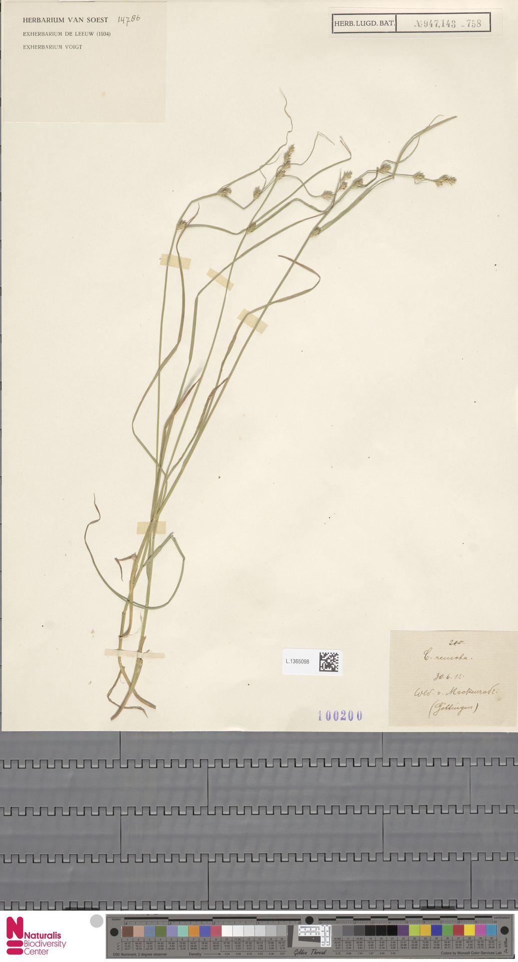 L.1365098 | Carex remota L.
