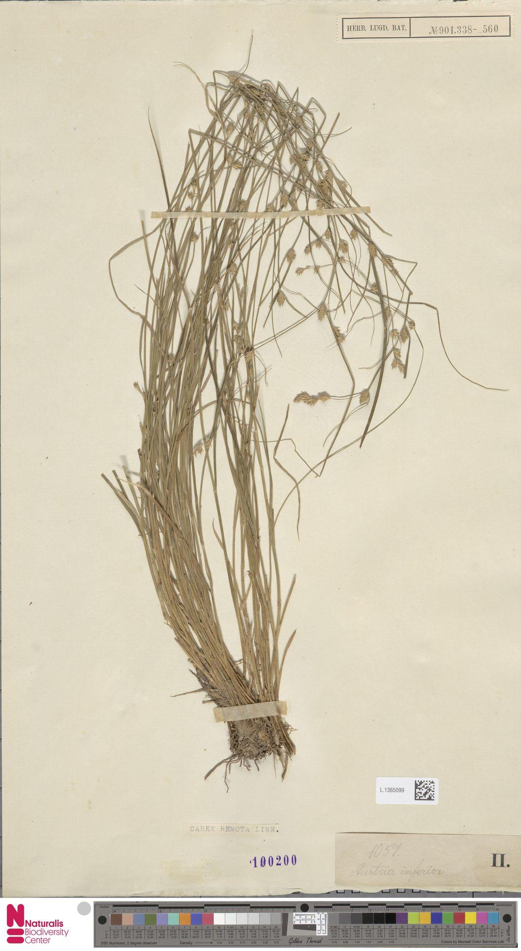 L.1365099 | Carex remota L.