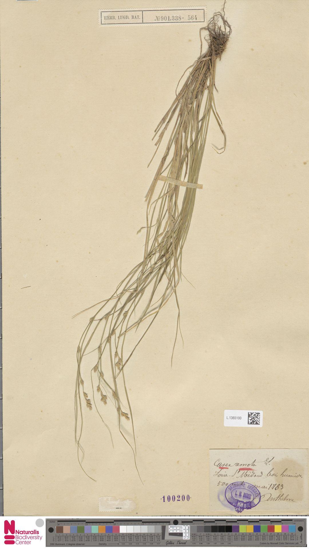 L.1365100 | Carex remota L.