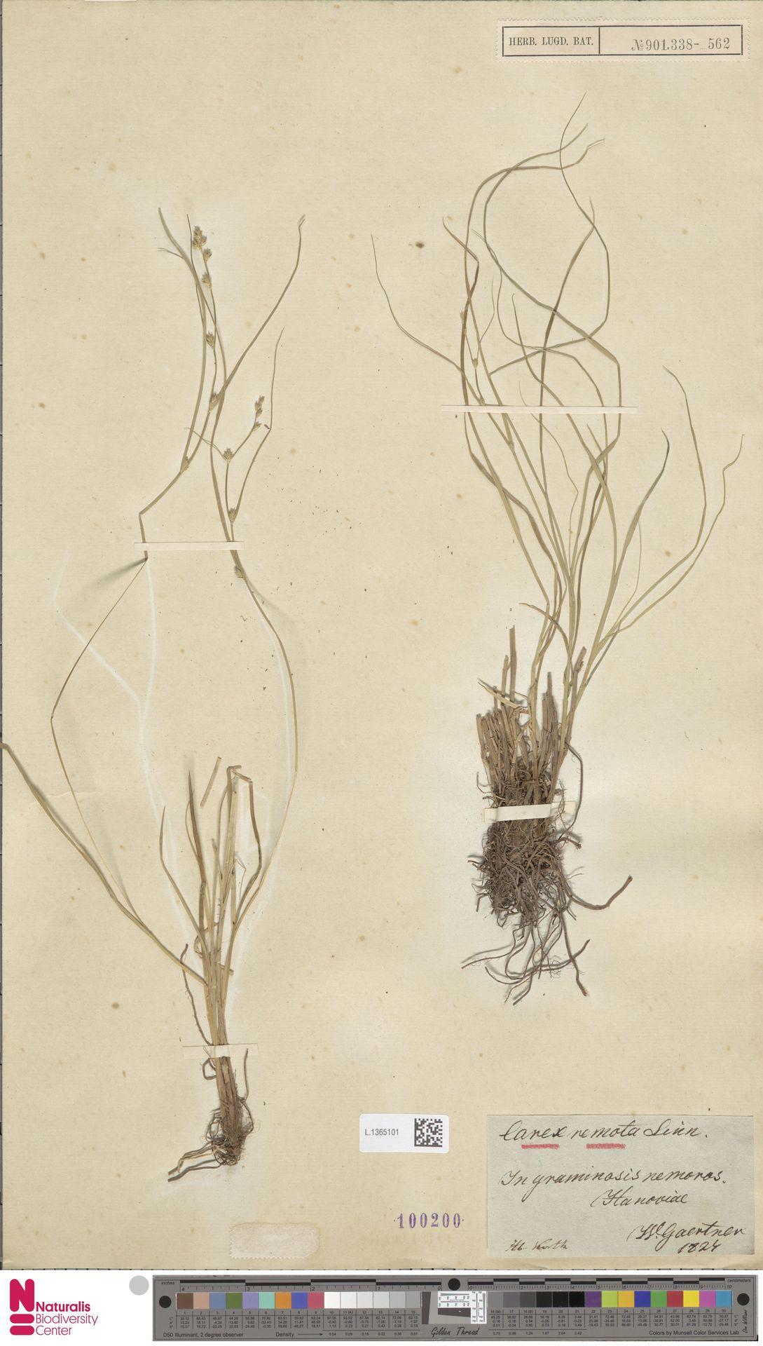 L.1365101 | Carex remota L.