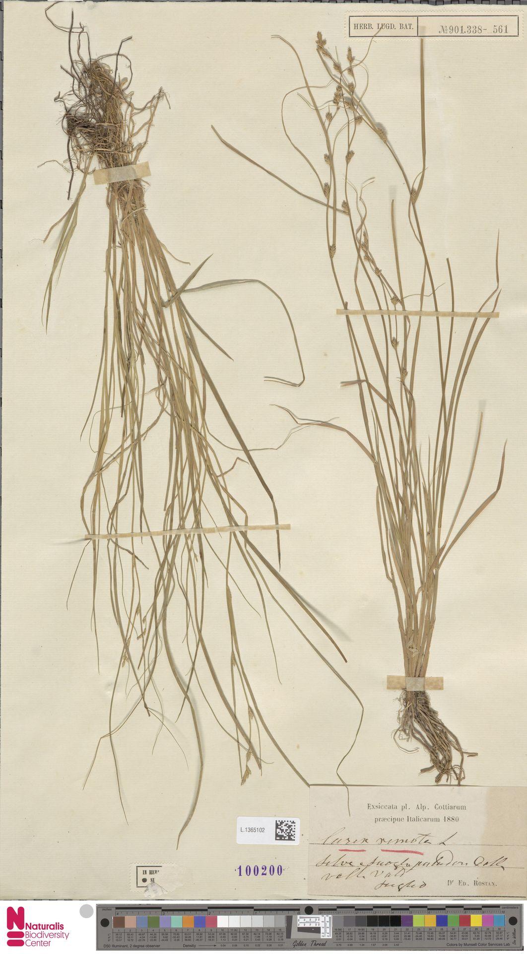 L.1365102 | Carex remota L.