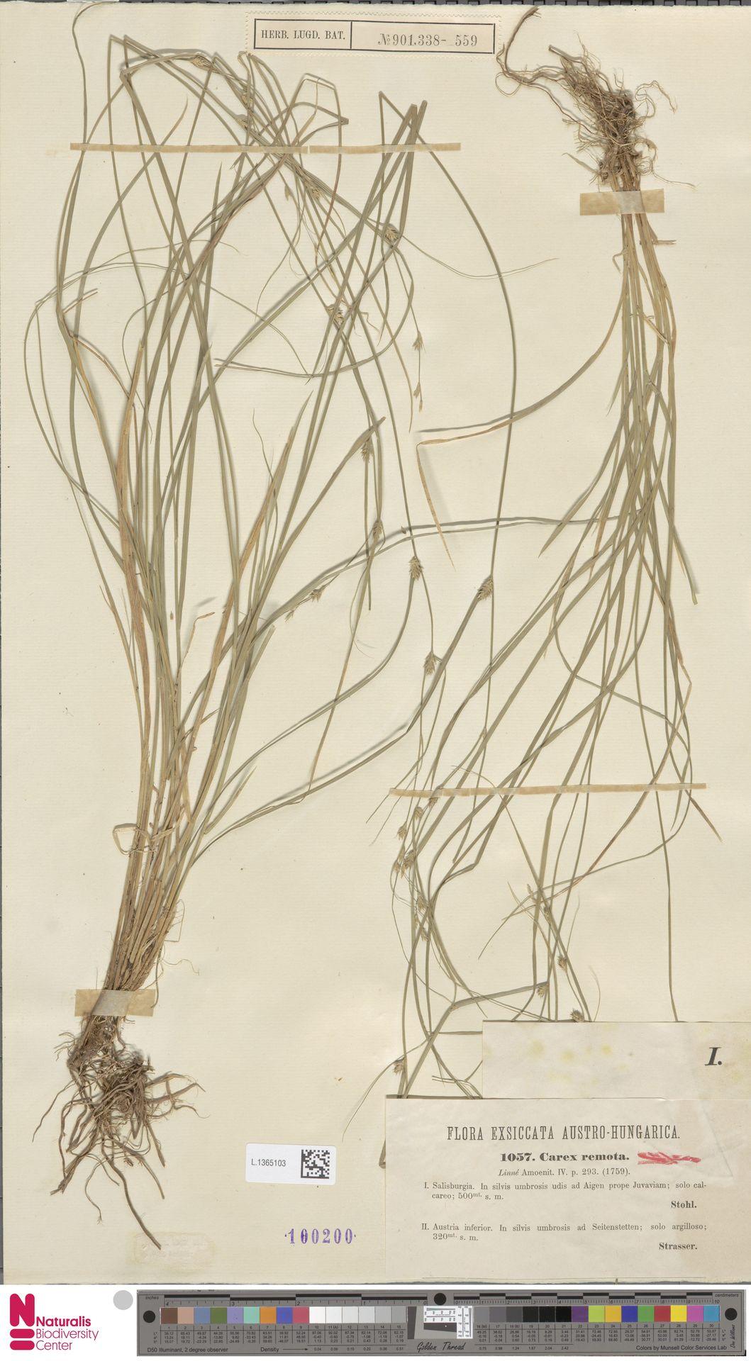 L.1365103 | Carex remota L.