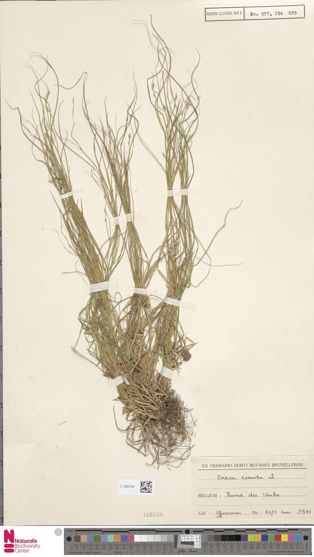 L.1365104 | Carex remota L.
