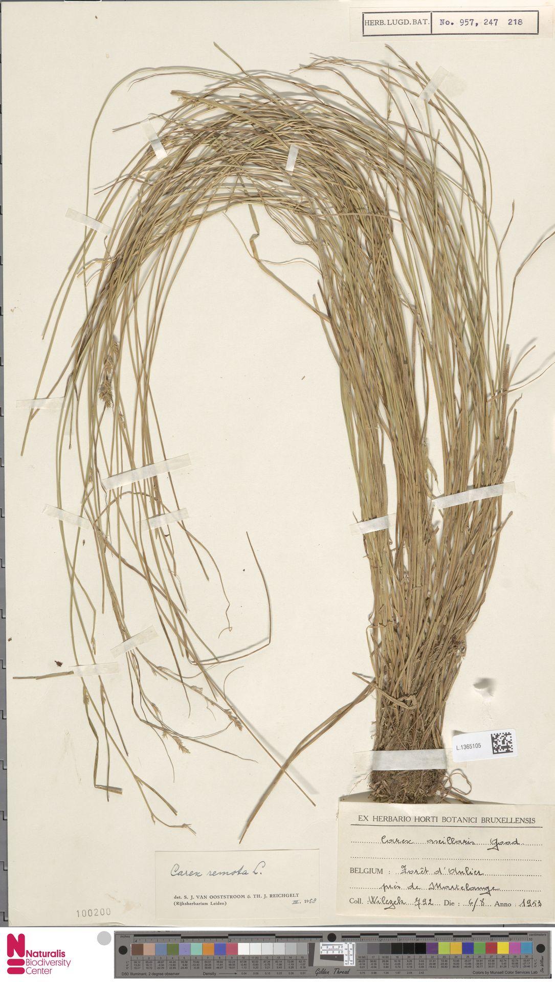 L.1365105 | Carex remota L.