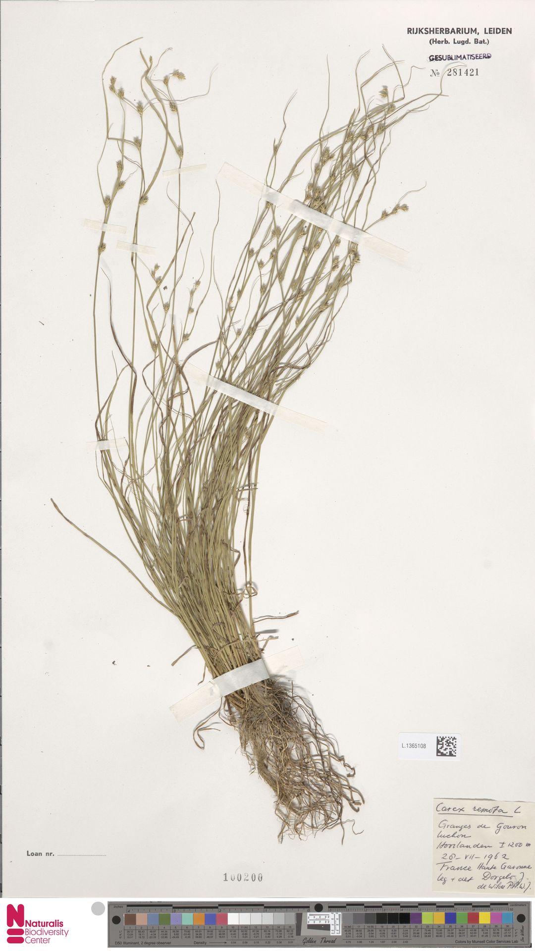 L.1365108 | Carex remota L.