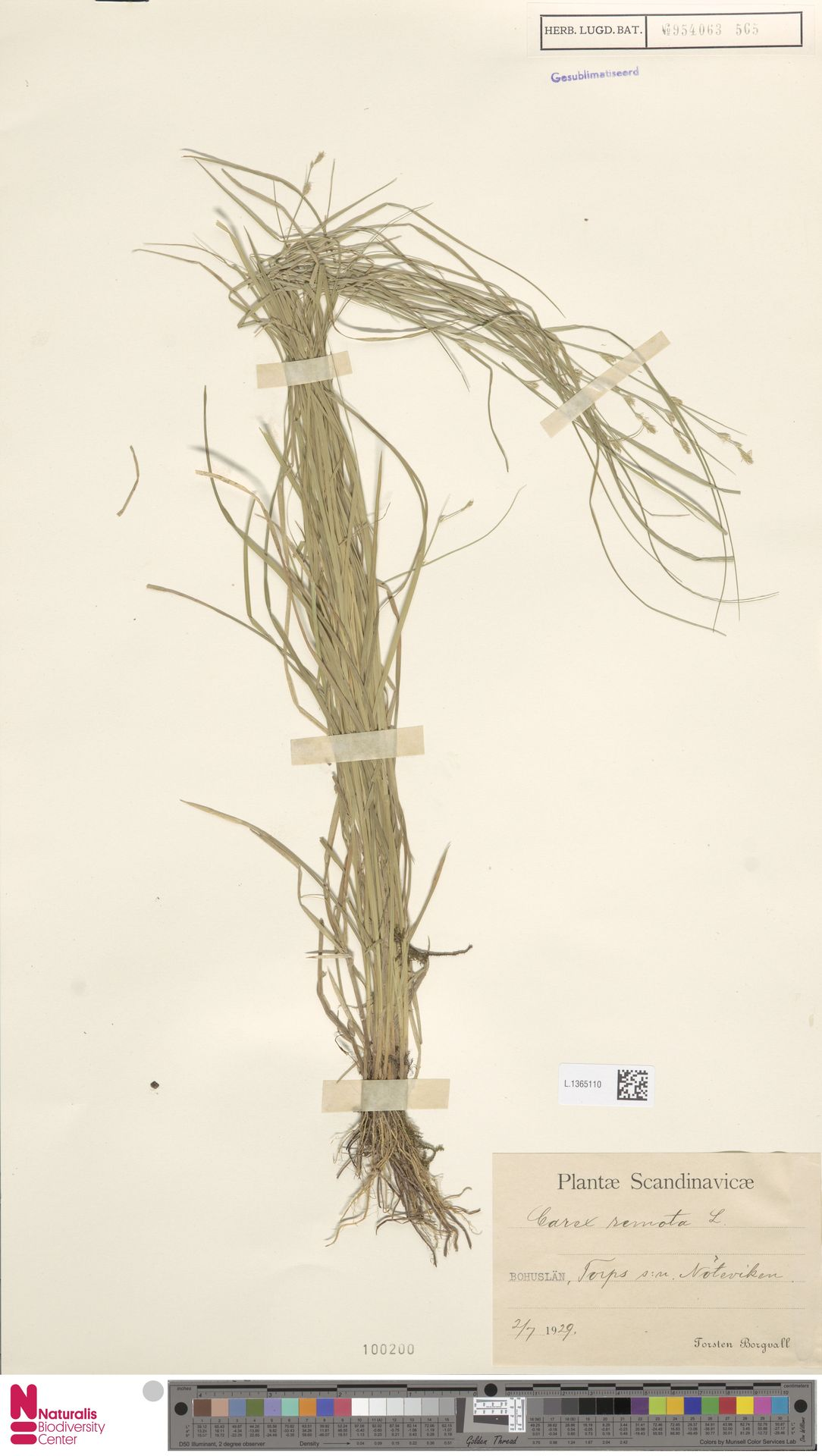 L.1365110 | Carex remota L.