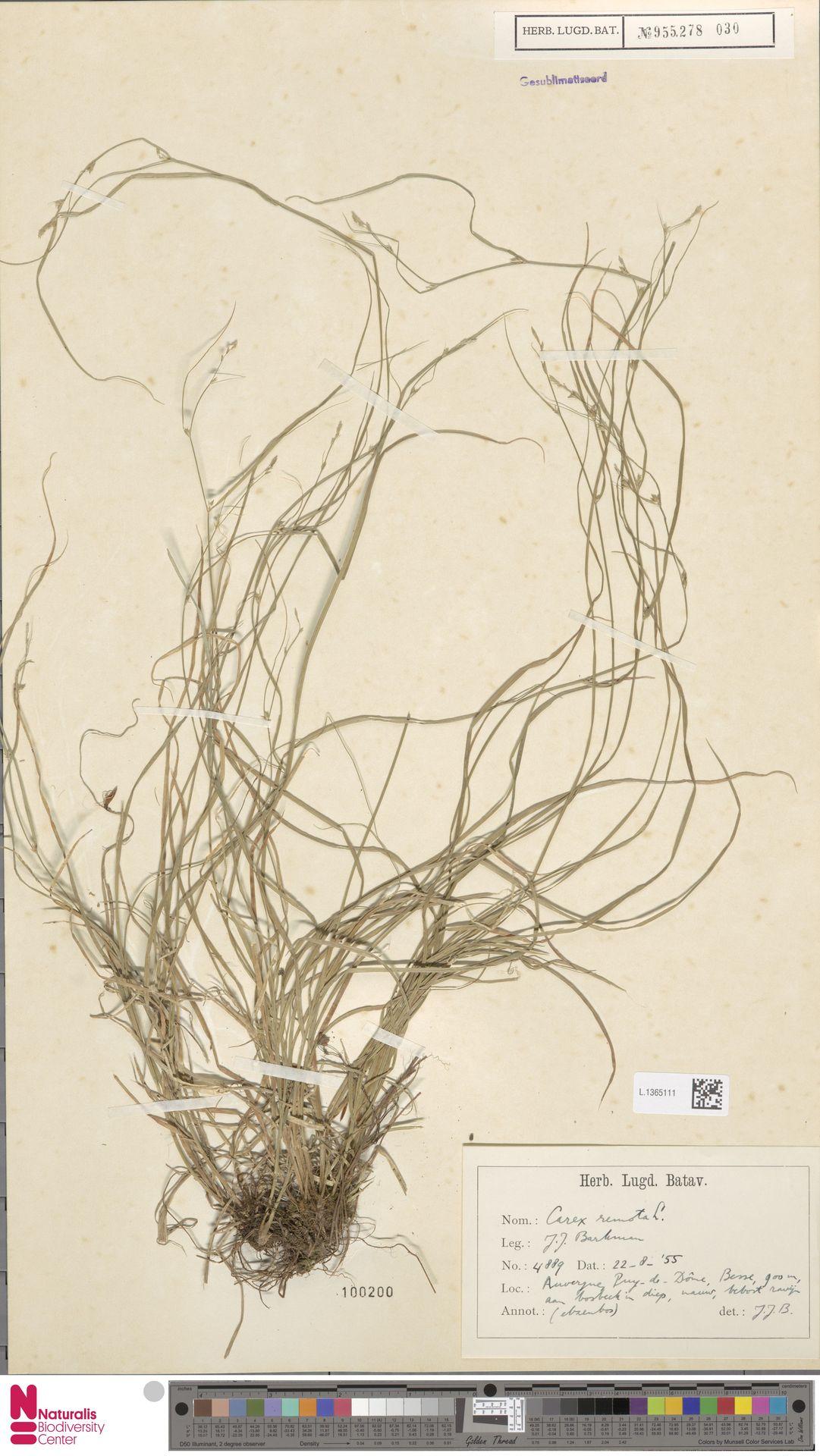 L.1365111   Carex remota L.