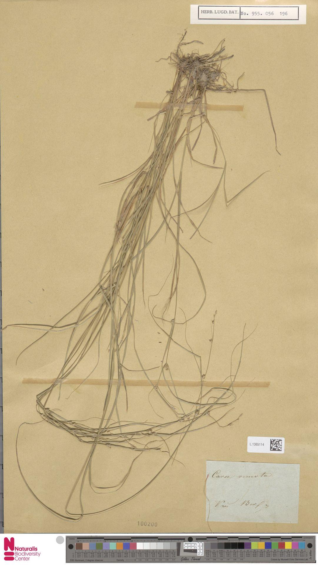 L.1365114 | Carex remota L.