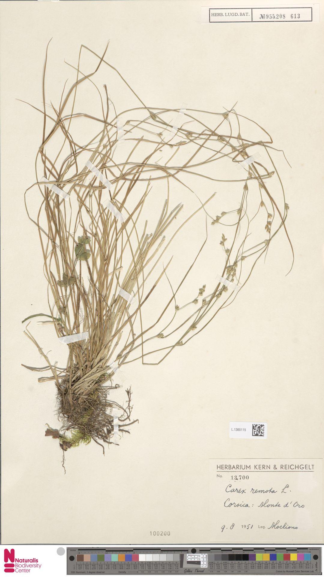 L.1365115 | Carex remota L.