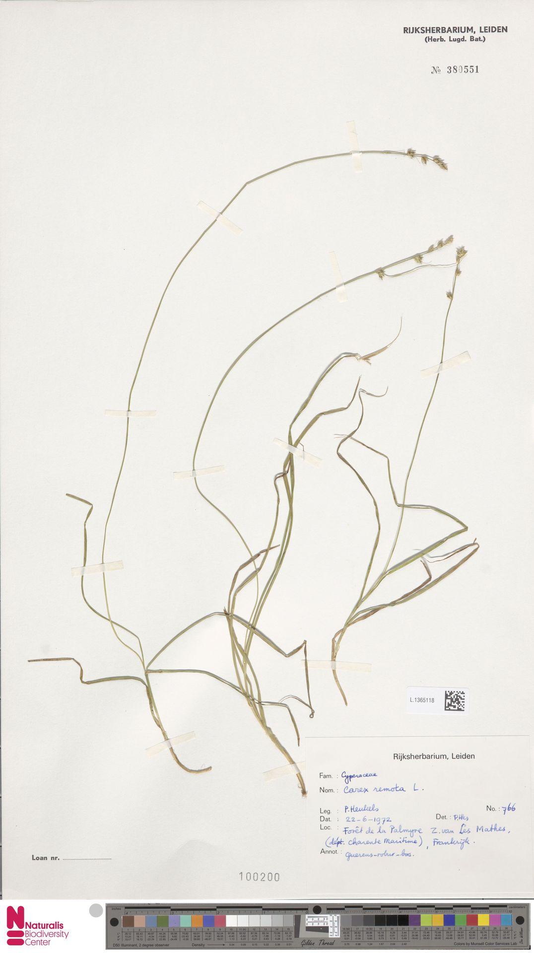 L.1365118 | Carex remota L.