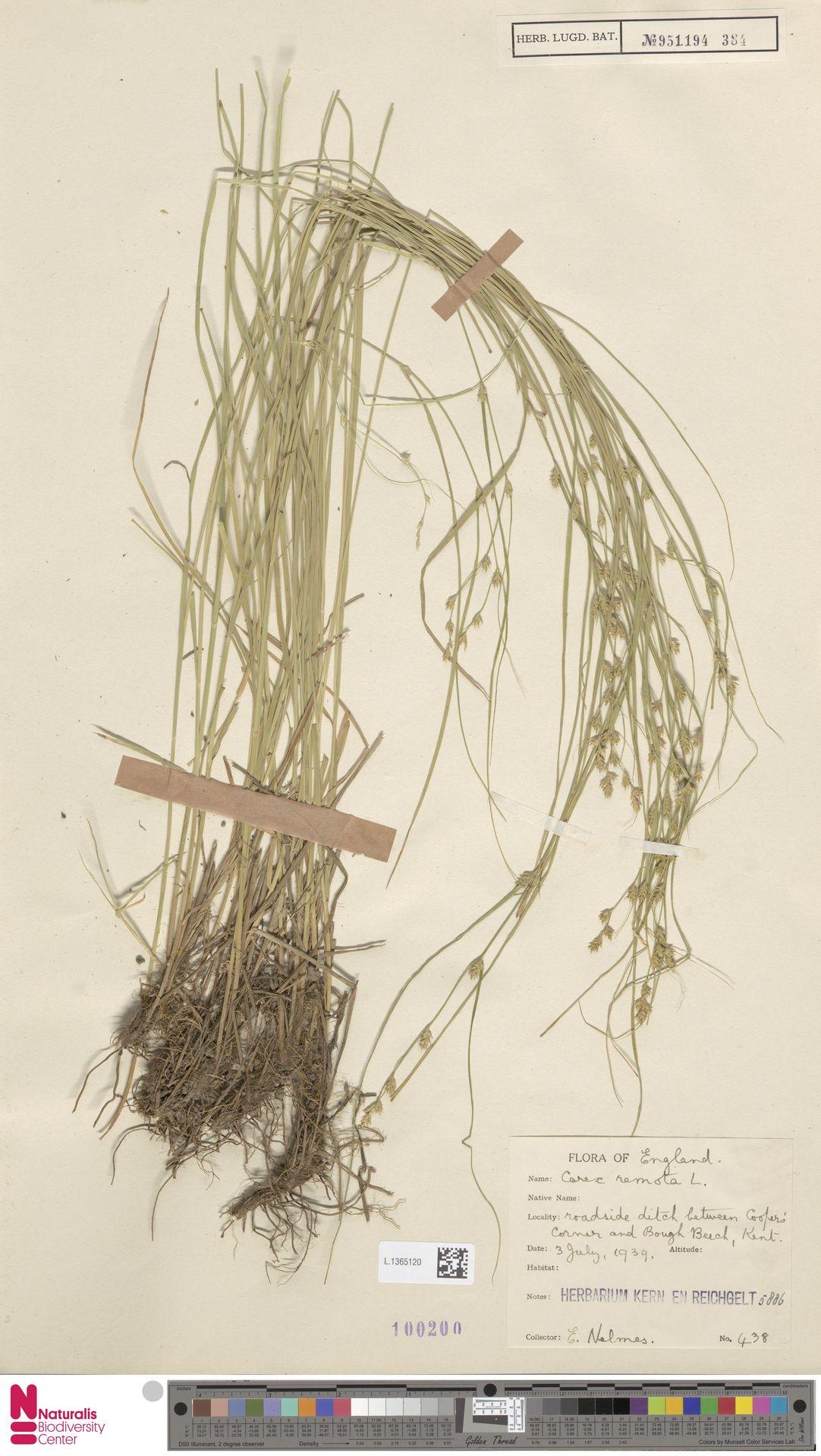 L.1365120 | Carex remota L.