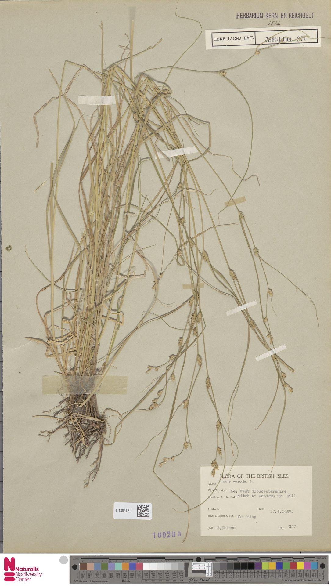 L.1365121 | Carex remota L.