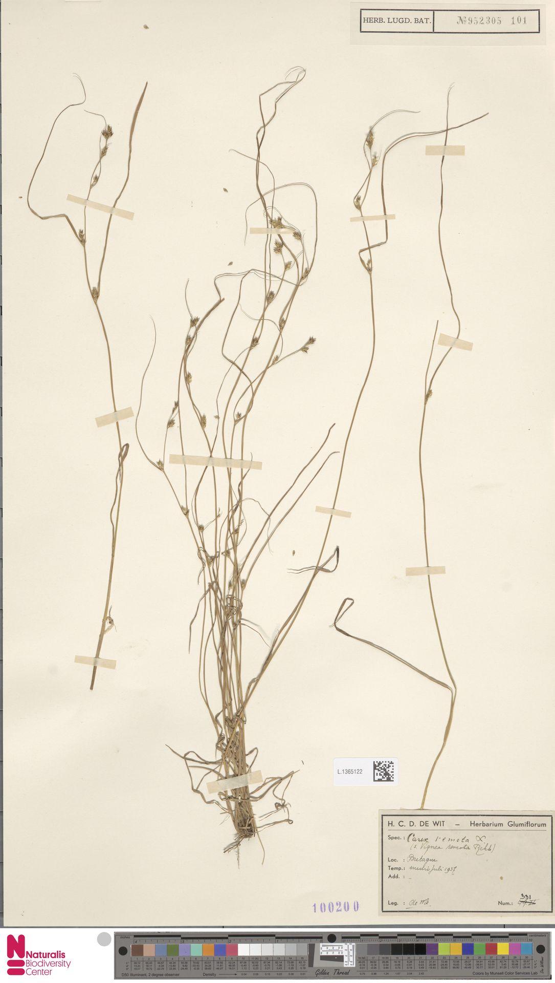 L.1365122 | Carex remota L.