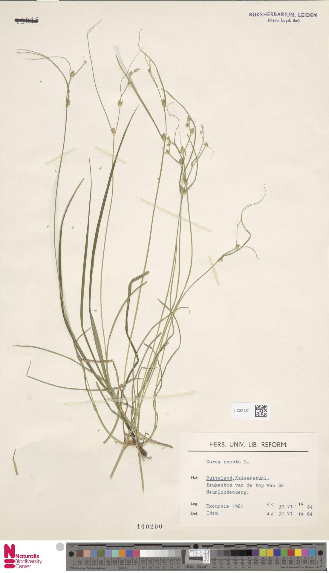 L.1365127 | Carex remota L.