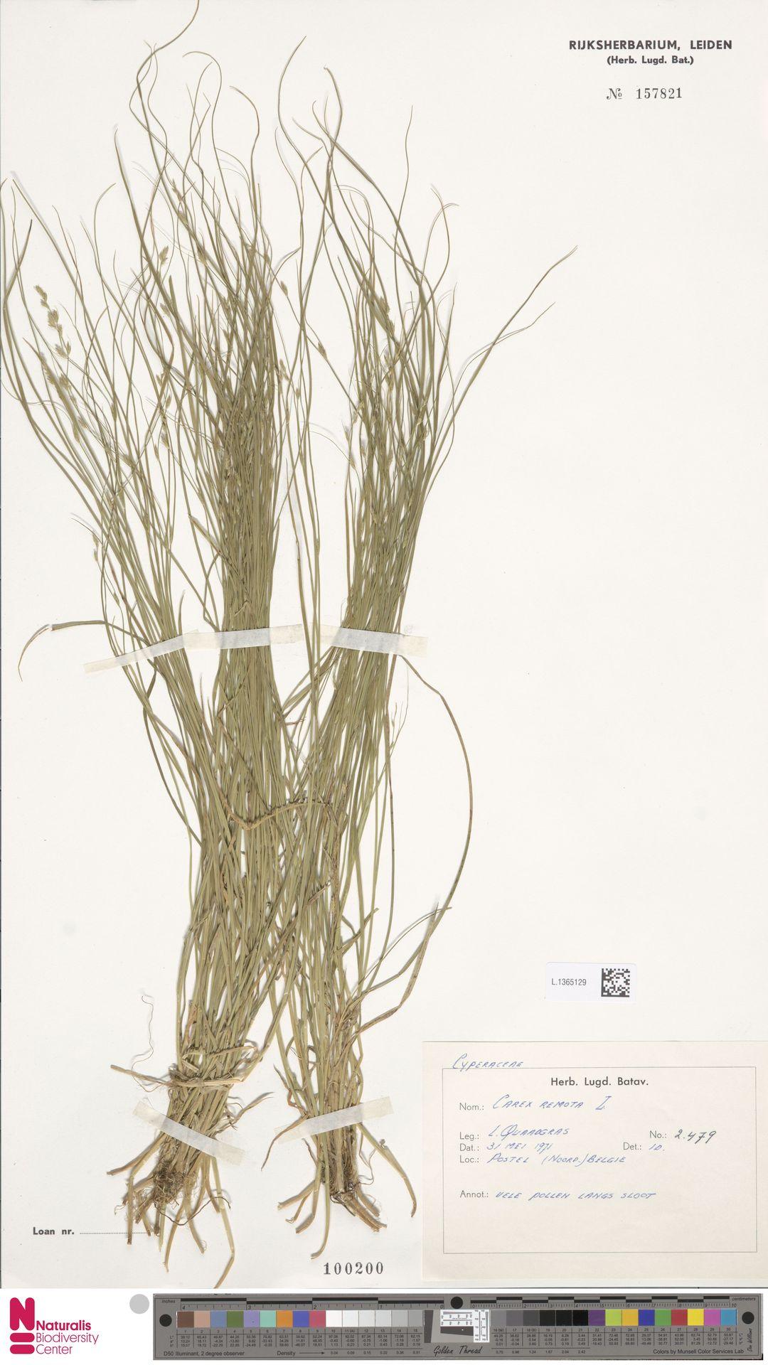 L.1365129 | Carex remota L.