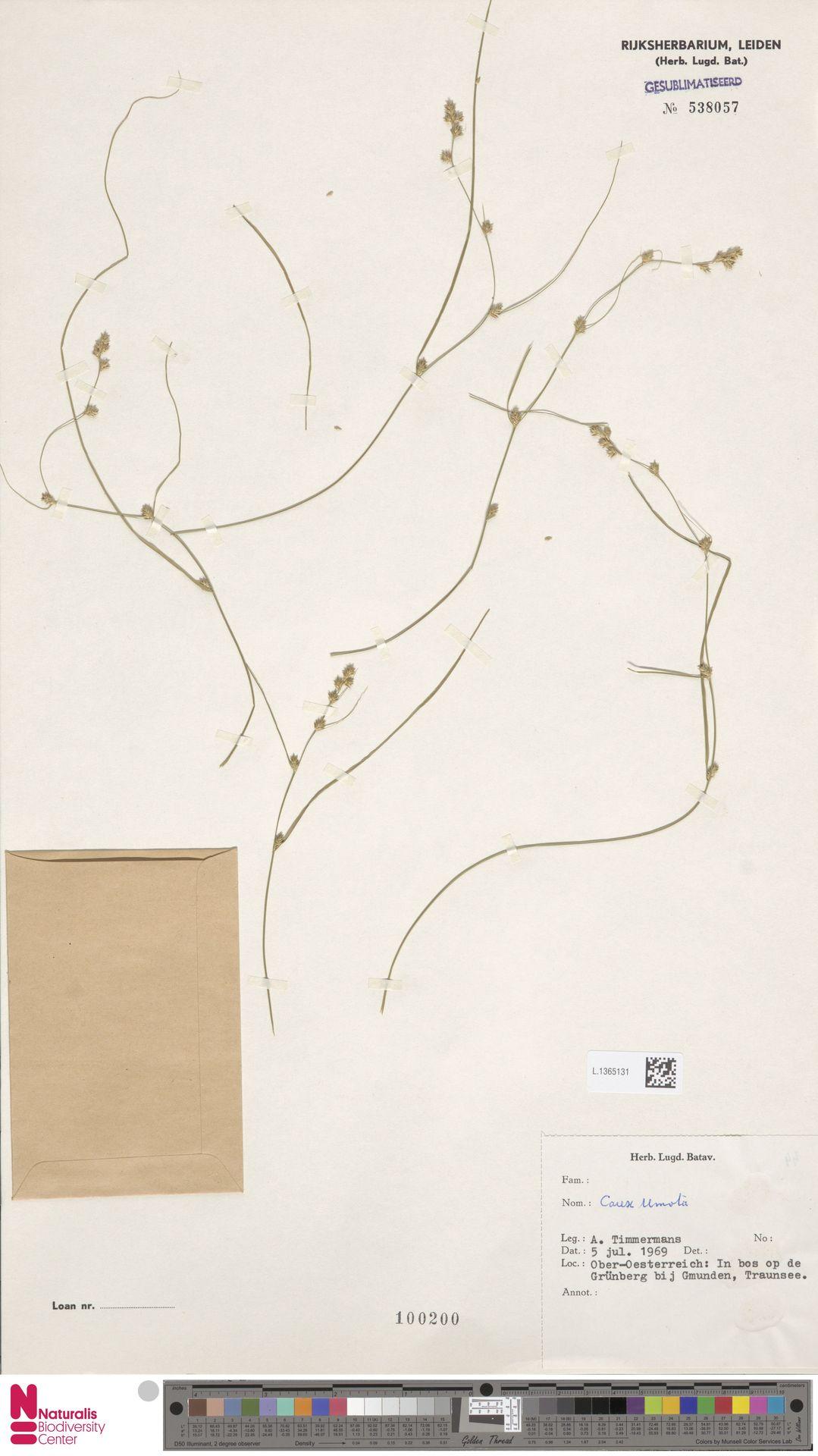 L.1365131 | Carex remota L.