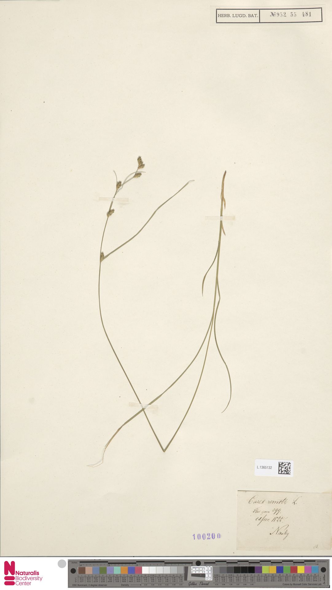 L.1365132 | Carex remota L.