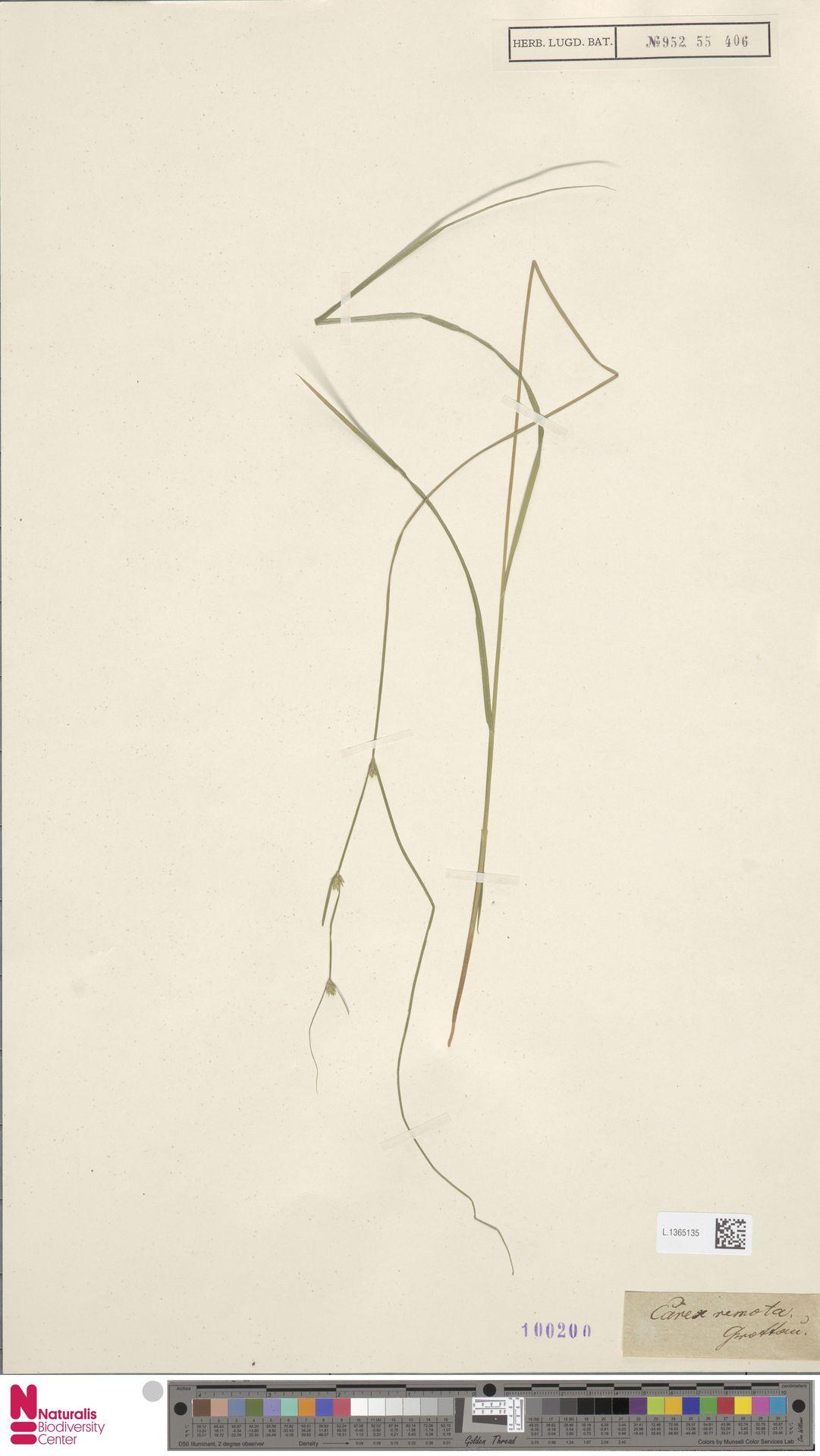 L.1365135 | Carex remota L.