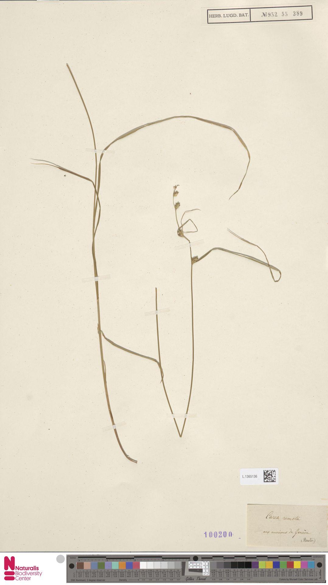 L.1365136 | Carex remota L.