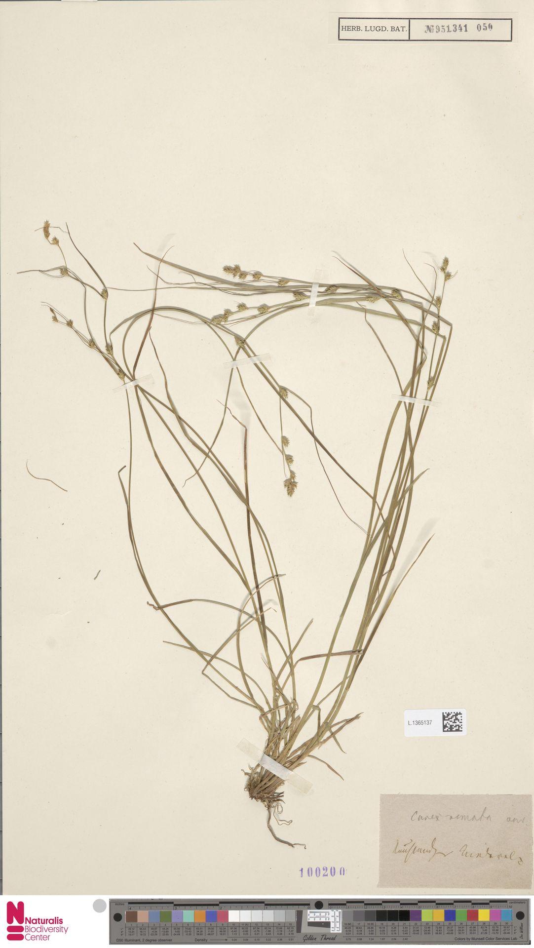 L.1365137 | Carex remota L.