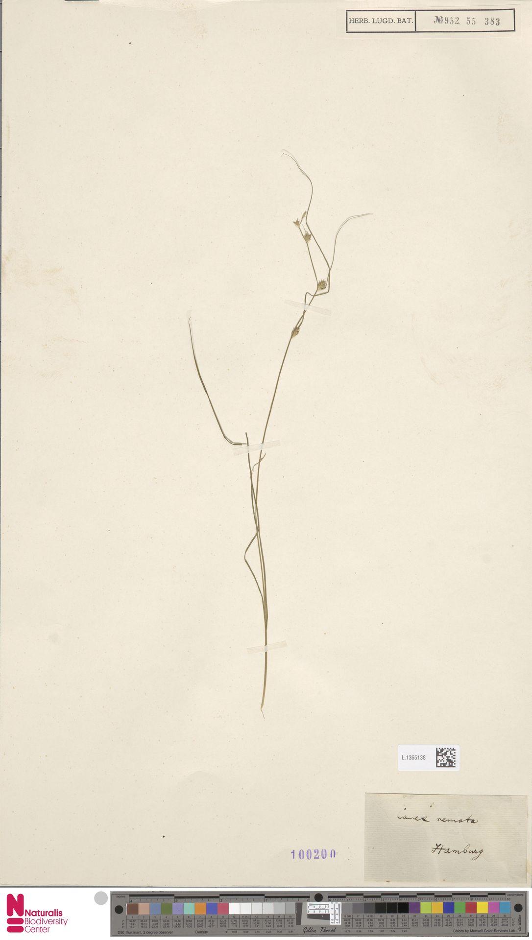 L.1365138   Carex remota L.