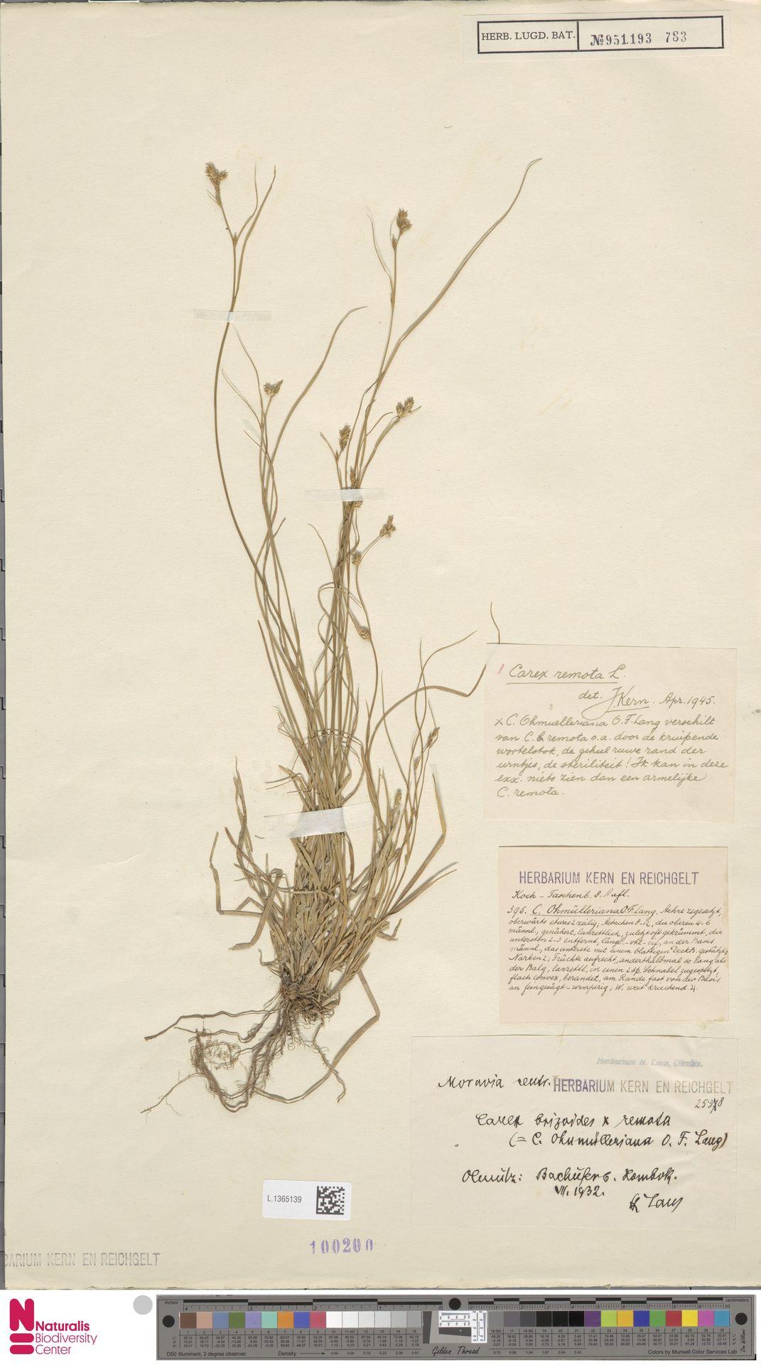 L.1365139 | Carex remota L.