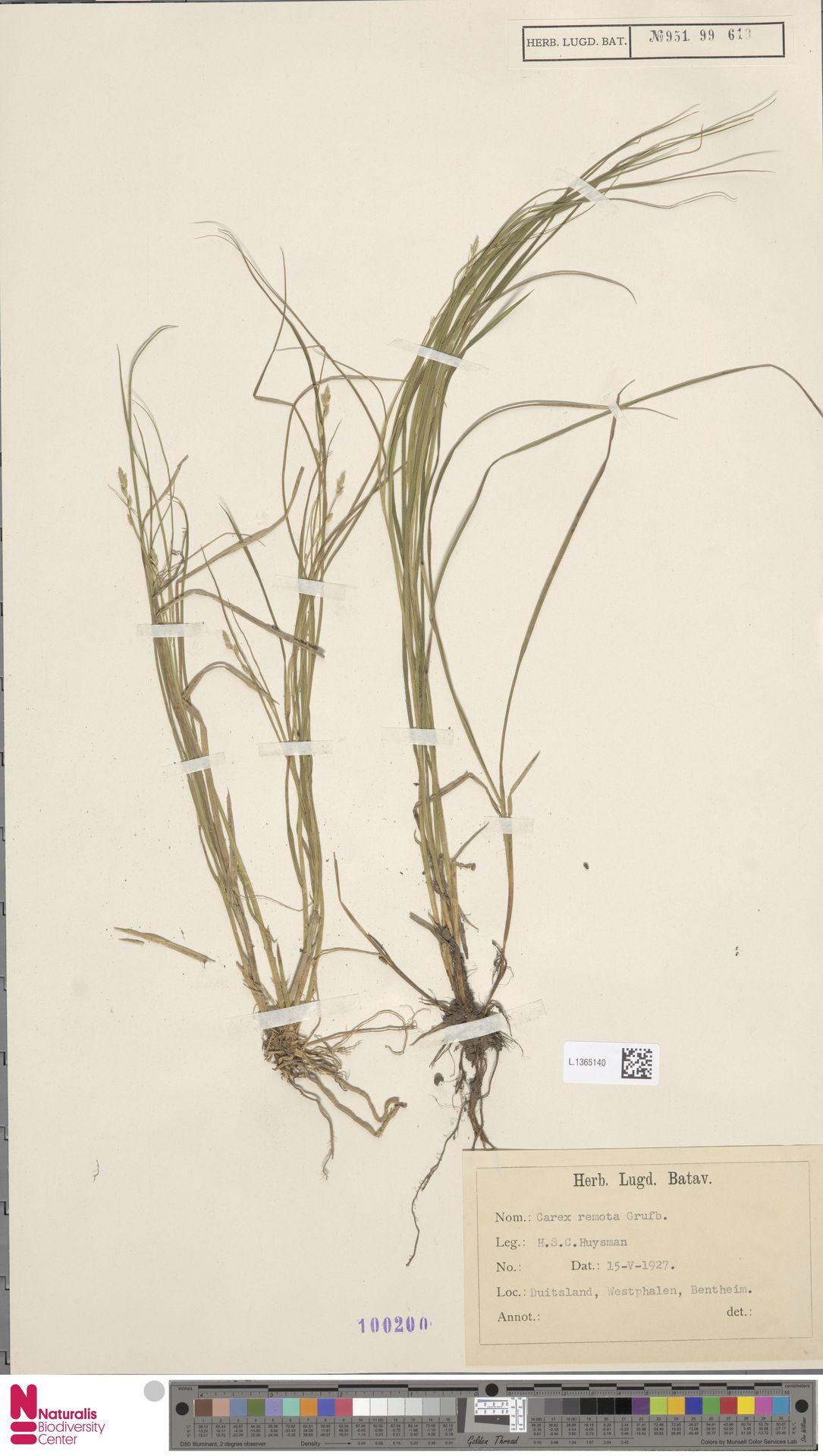 L.1365140 | Carex remota L.