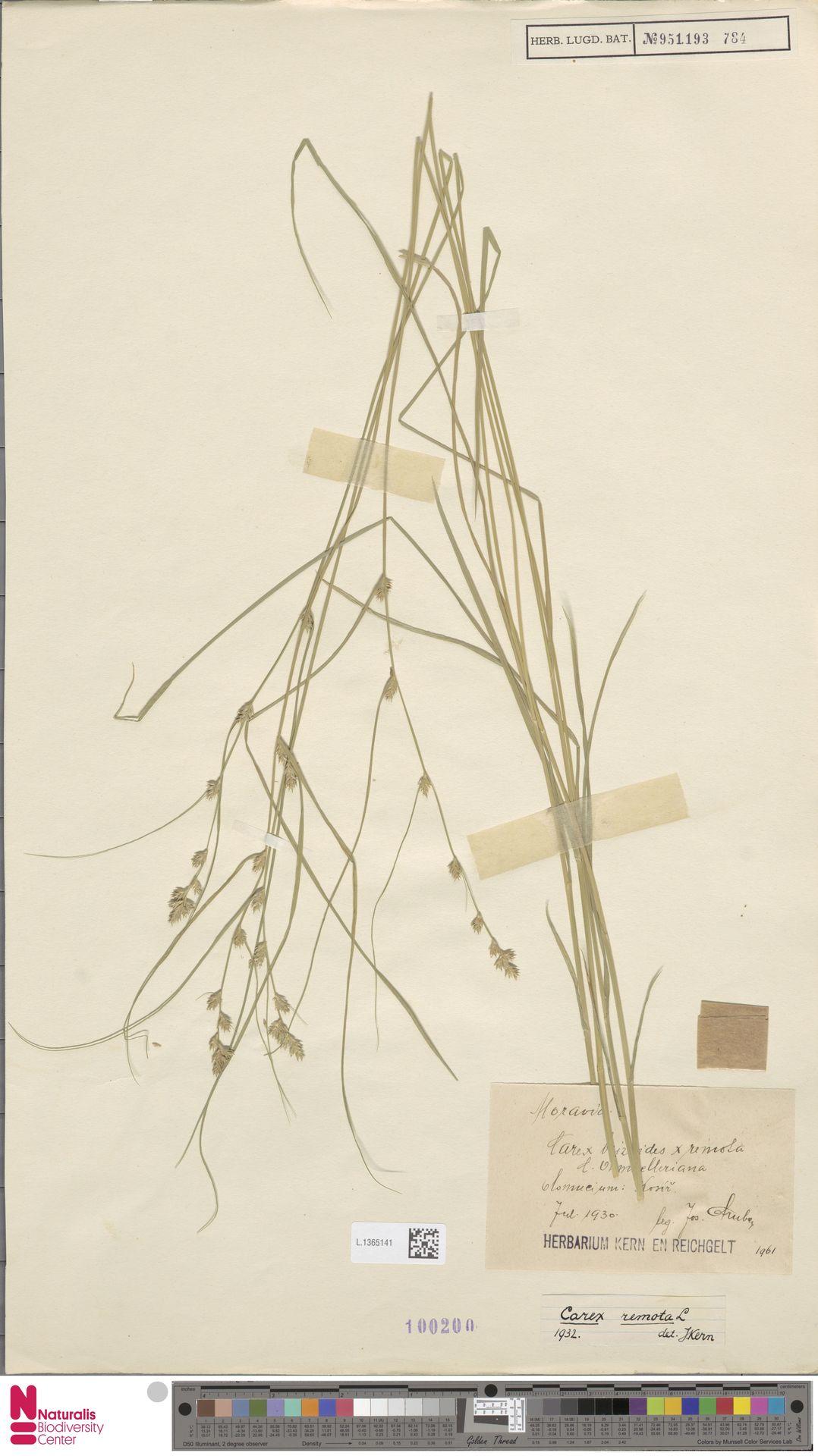L.1365141 | Carex remota L.