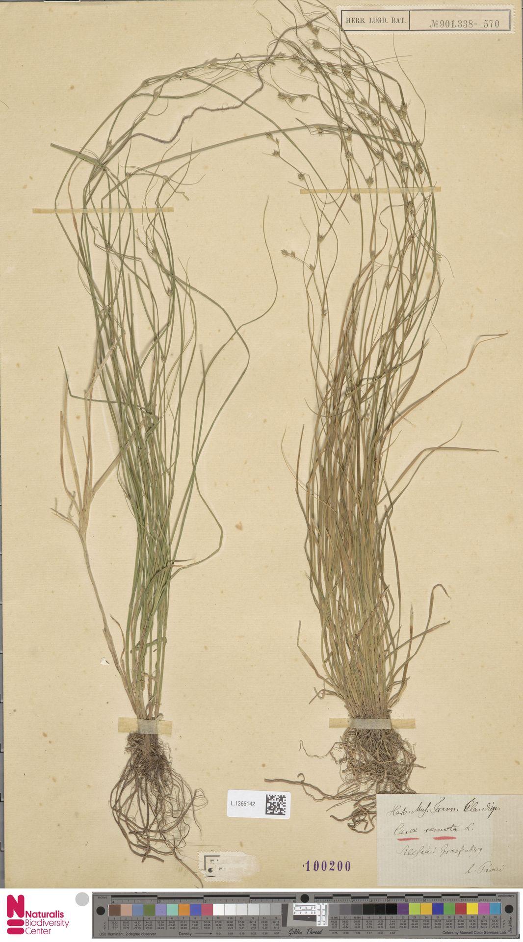L.1365142 | Carex remota L.