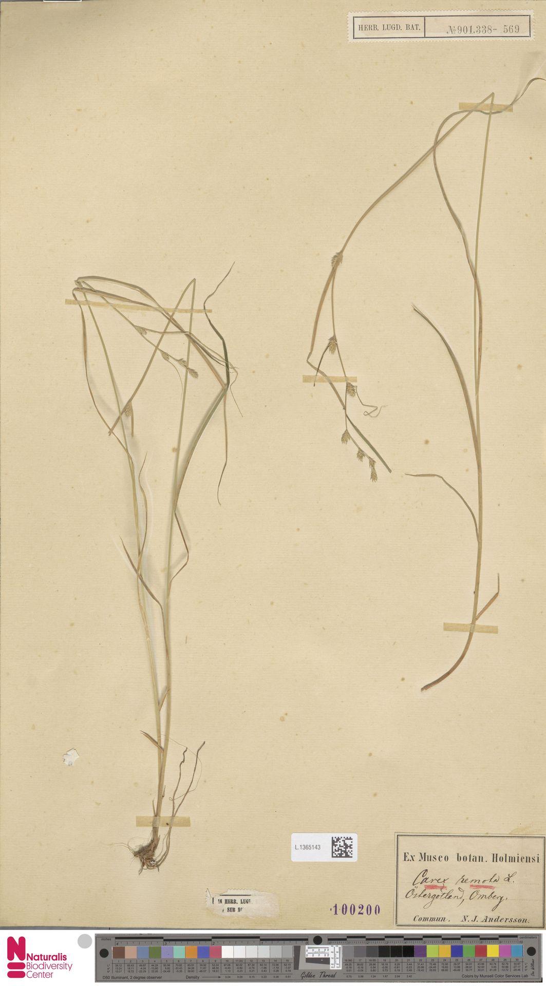 L.1365143 | Carex remota L.