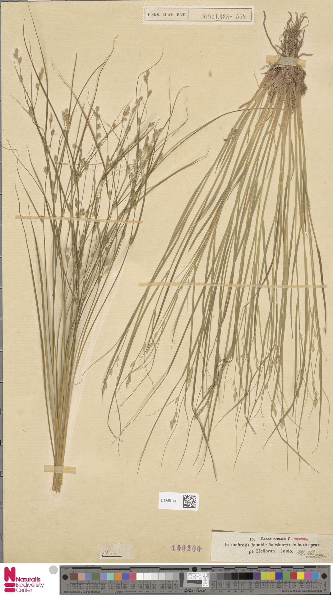 L.1365144 | Carex remota L.
