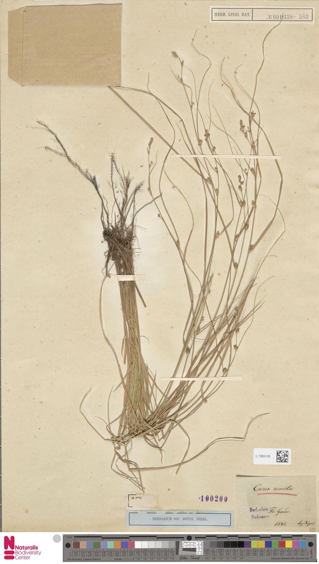 L.1365145 | Carex remota L.