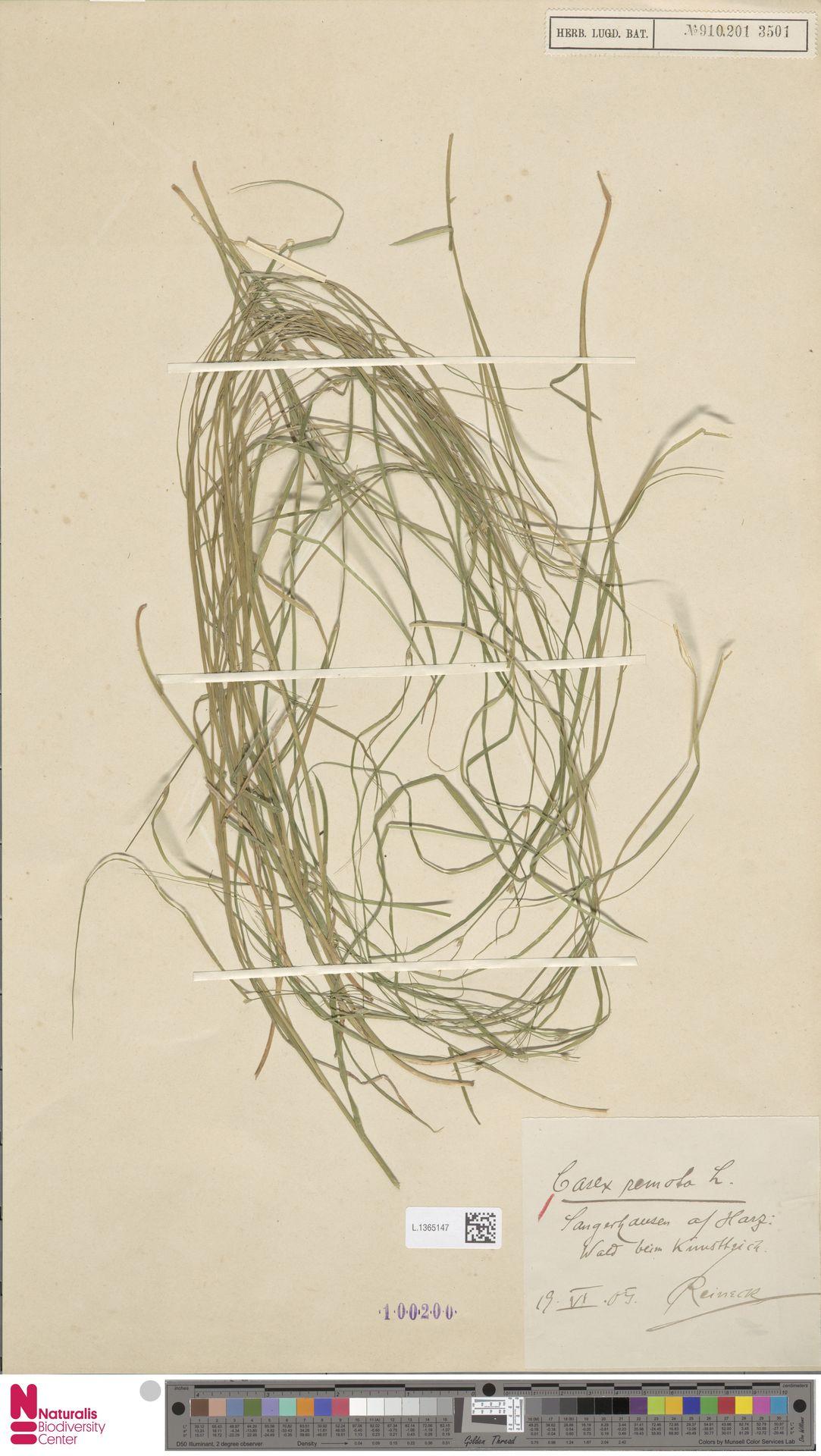 L.1365147 | Carex remota L.