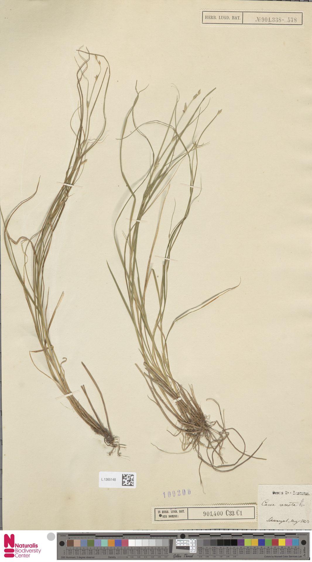 L.1365148 | Carex remota L.