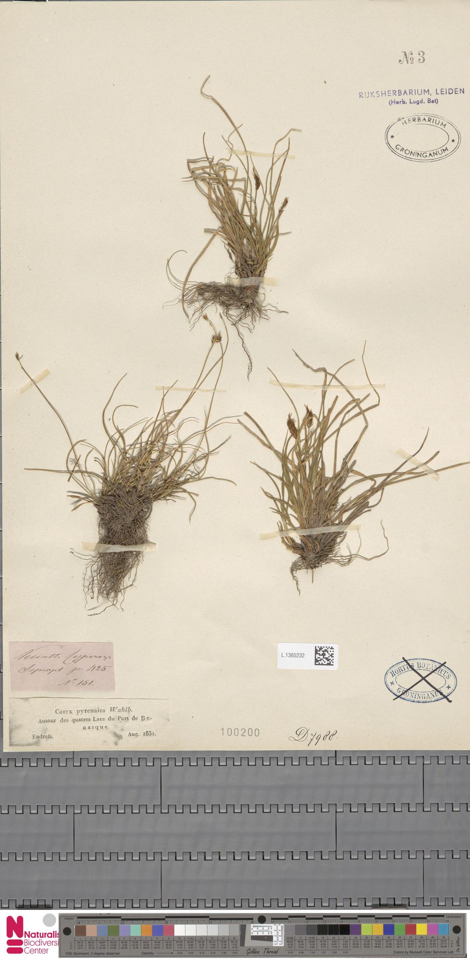 L.1365232 | Carex pyrenaica Wahlenb.