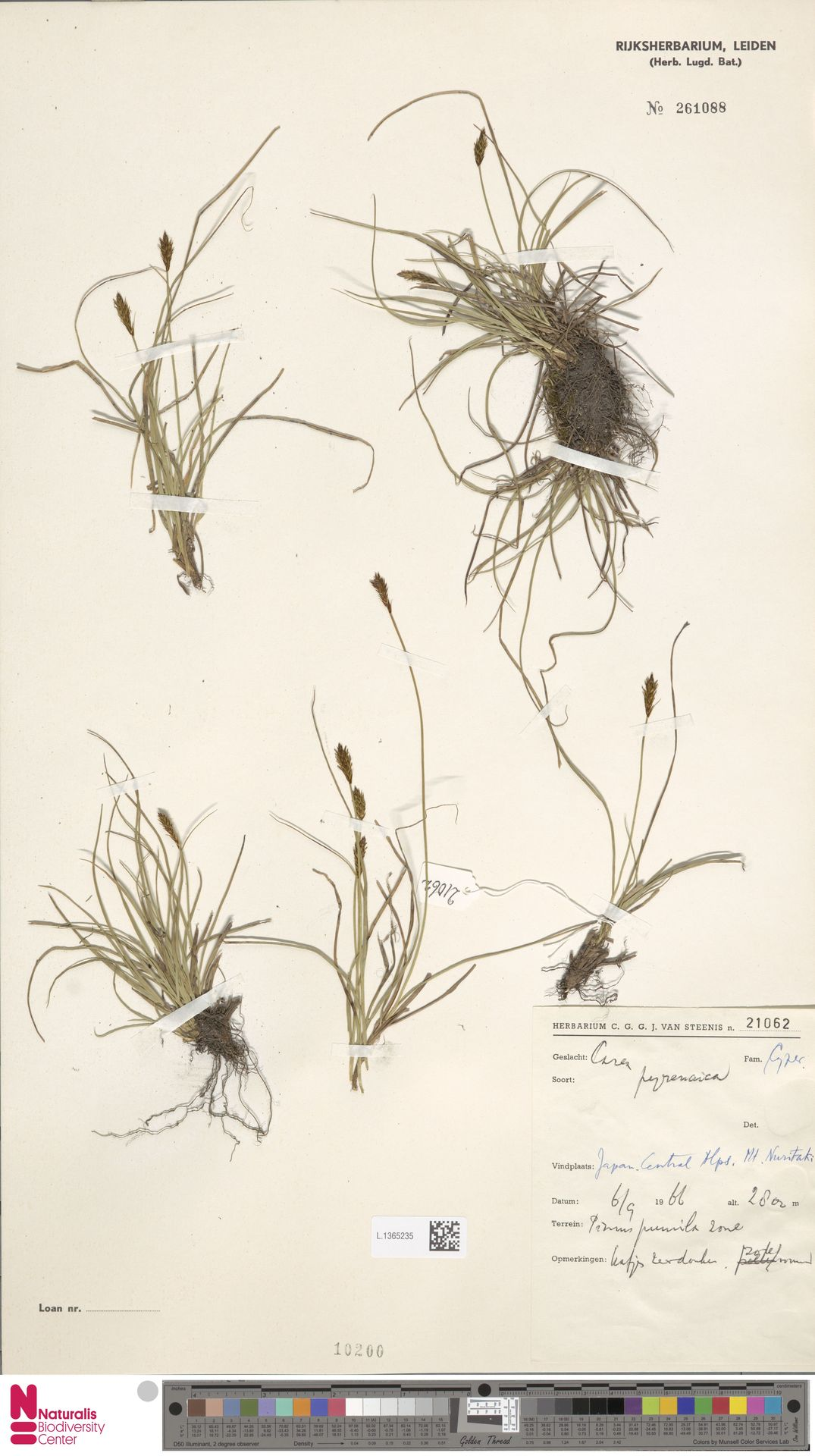 L.1365235 | Carex pyrenaica Wahlenb.