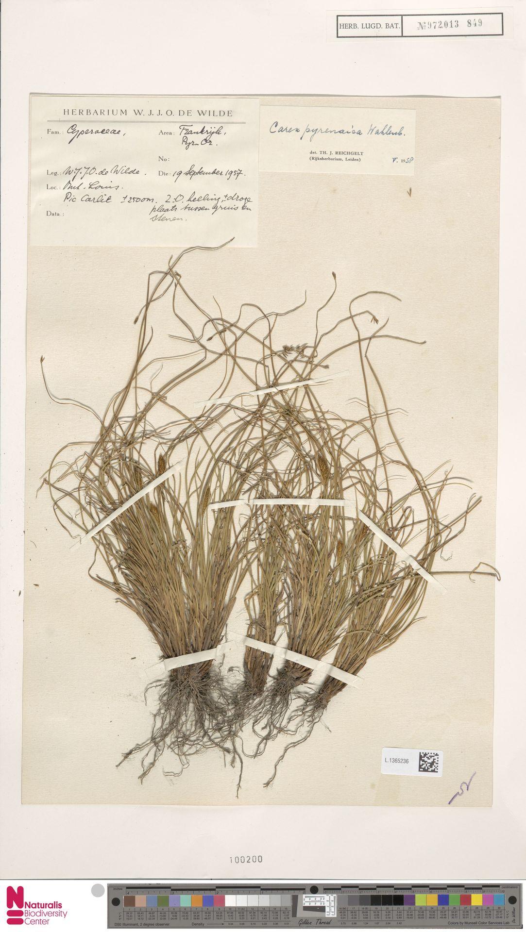 L.1365236 | Carex pyrenaica Wahlenb.