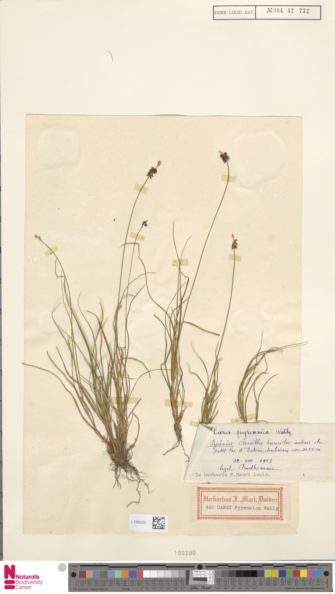 L.1365237 | Carex pyrenaica Wahlenb.