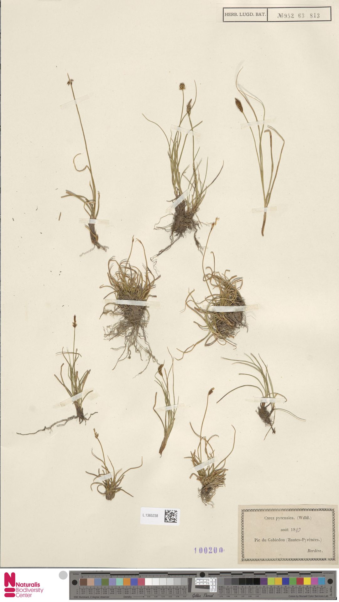 L.1365238 | Carex pyrenaica Wahlenb.