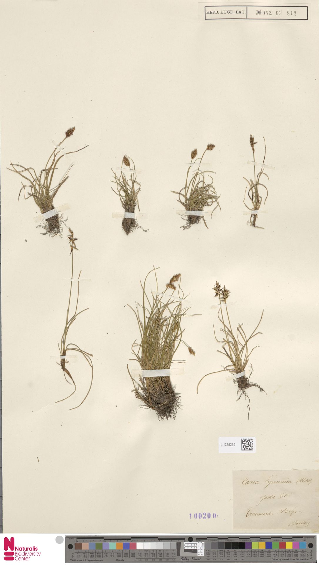 L.1365239 | Carex pyrenaica Wahlenb.