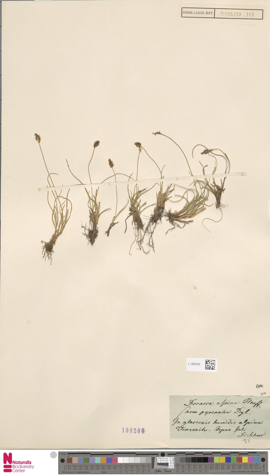 L.1365243 | Carex pyrenaica Wahlenb.
