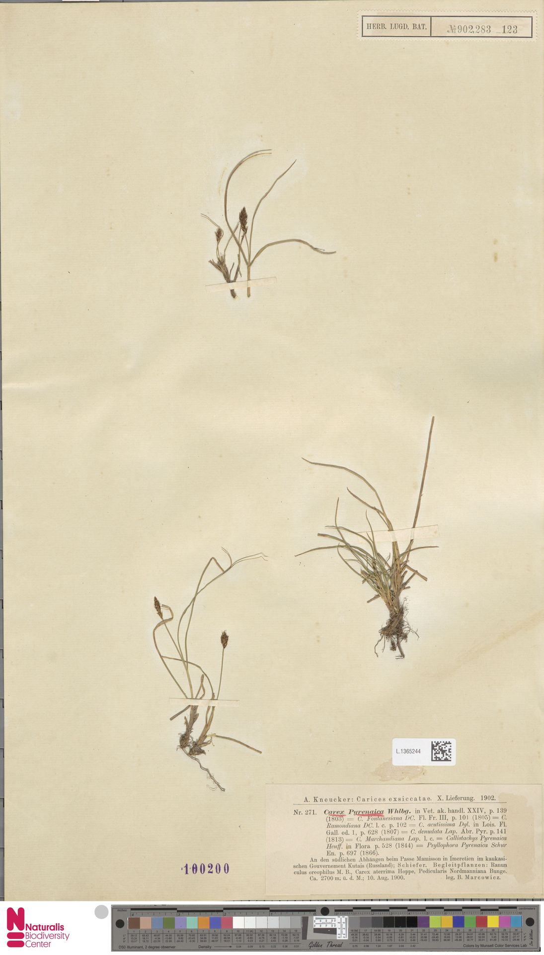 L.1365244 | Carex pyrenaica Wahlenb.
